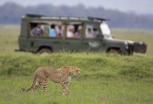 Stalking cheetah watched with safari vehicle background - Masai Mara, Kenya